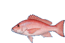 Red Snapper clr