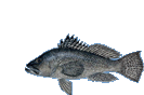black sea bass smclr