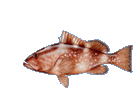 red grouper smclr